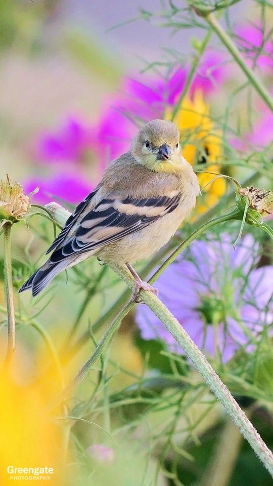 gold finch female greengatephotography etsy com salem oregon 2019 rh pinterest com