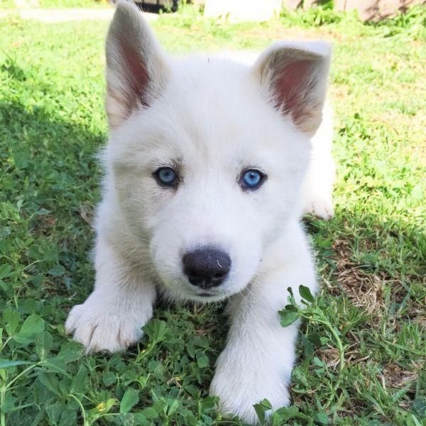 Snow White Husky Puppy White Husky Puppy Cute Husky Puppies White Husky