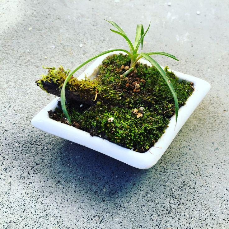 リュウノヒゲと苔を豆皿に盆栽風植栽