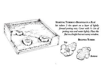Planting, growing, and enjoying Tuberous Begonias - White Flower Farm