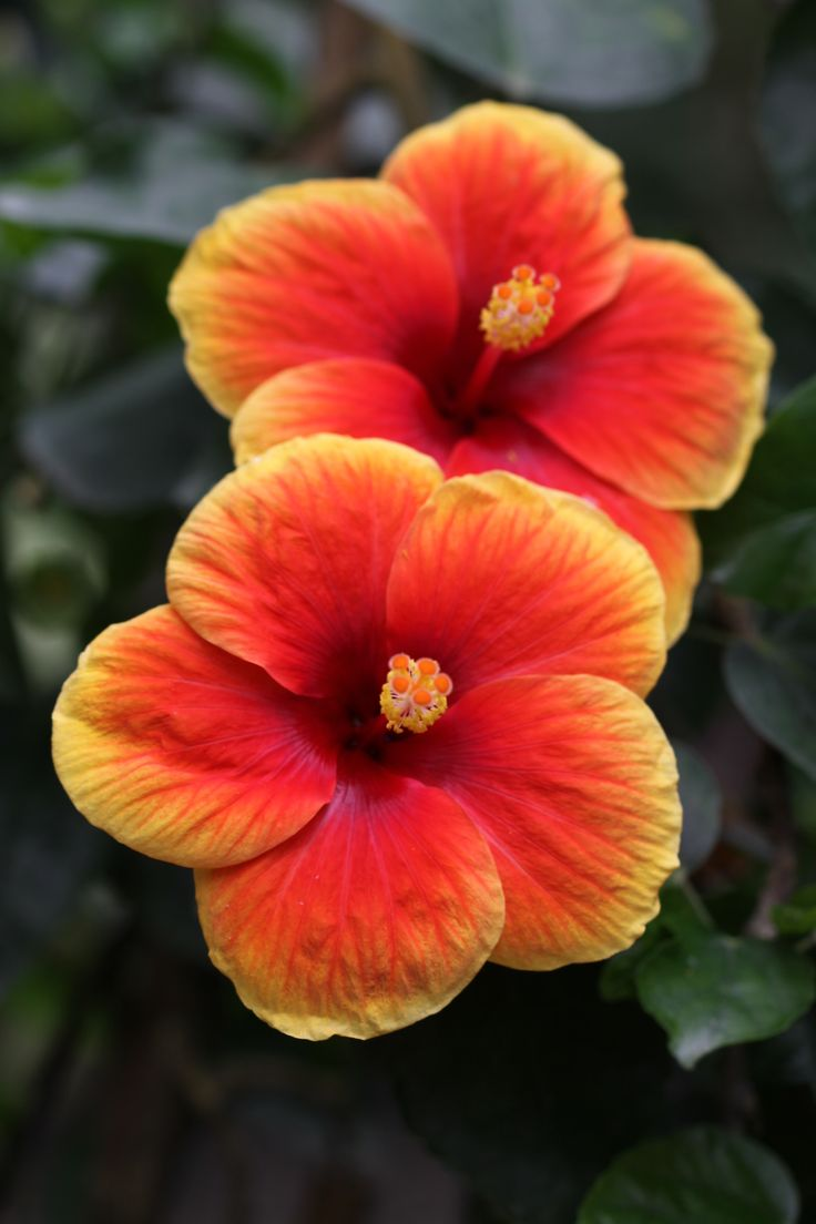 105 best flowers hibiscus images on pinterest hibiscus pretty hibiscus izmirmasajfo