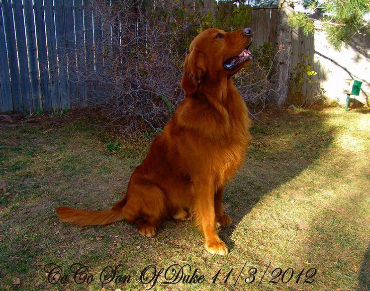Dark red golden retriever - so handsome.