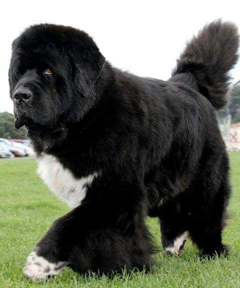 newfoundland dog wow newf this used to be just like my newfie nd he died of parvo virus the b. Black Bedroom Furniture Sets. Home Design Ideas