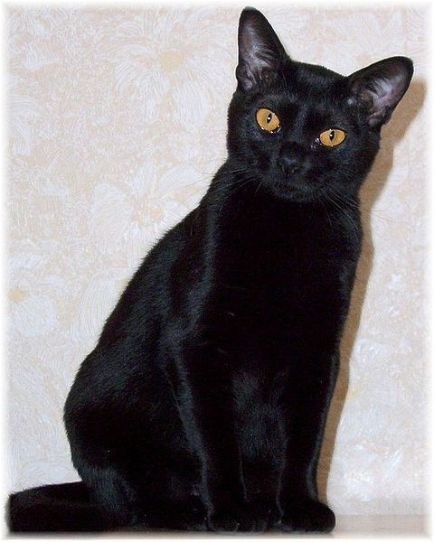 Bombay Cat:   This cat breed is medium sized and well muscled. The ears are medium sized and set well apart. The head is rounded with large wide-set eyes.