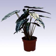 Ránclevél, Alocasia amazonica 25 cm magas 13cs