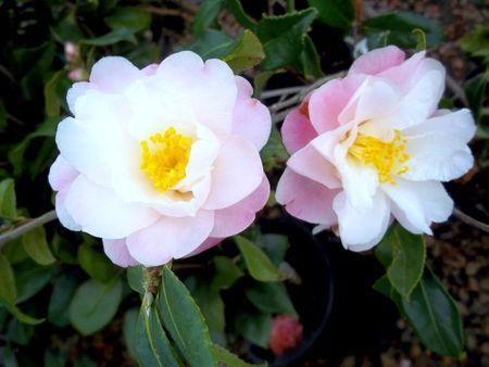 "Fantastic Plants: Camellia vernalis 'Star above Star'<BR><B>'Star above Star' Camellia . . . 36"""