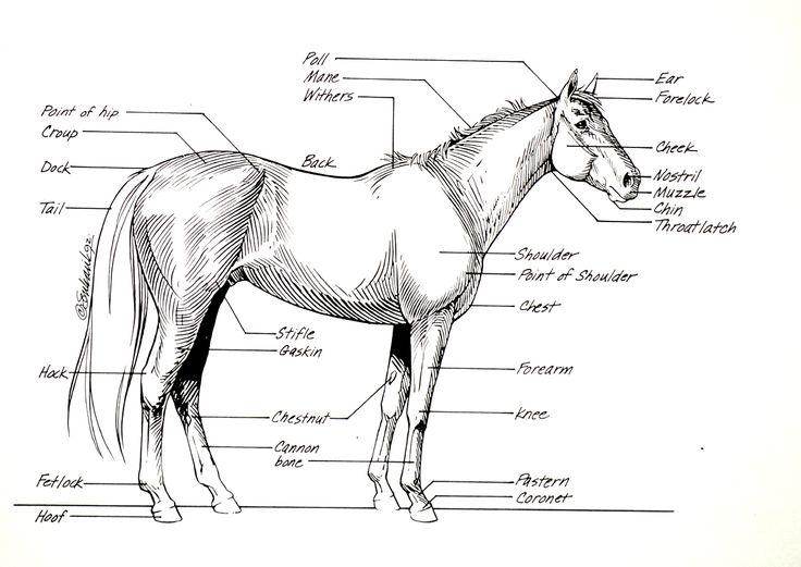 Horse Anatomy Diagrams Printable - Schematics Wiring Diagrams •