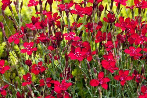 Heide-Nelke 'Leuchtfunk' - Dianthus deltoides 'Leuchtfunk'