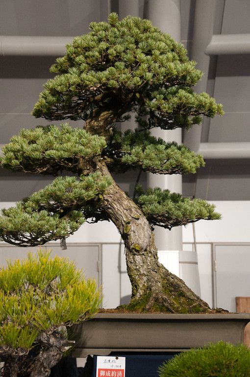 White pine. I want to do this with my Dwarf Norwegian Pine.