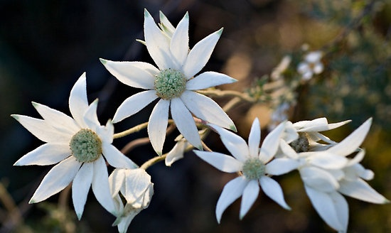 Sydney Flannel Flower (Actinotus helianthi) This lovely wildflower is commonly seen around Sydney.