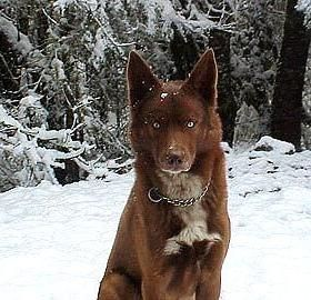 An American Indian Dog: It is not a Wolf, or a Coyote.  These working companion animals were almost lost to history after The Native American Indians were segregated onto reservations, and often left without the resources necessary to maintain this ancient breed. There is now growing interest in restoring the old lines of these beautiful canines.