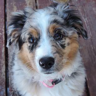 Australian shepherd, Best dog breeds and Dogs on Pinterest