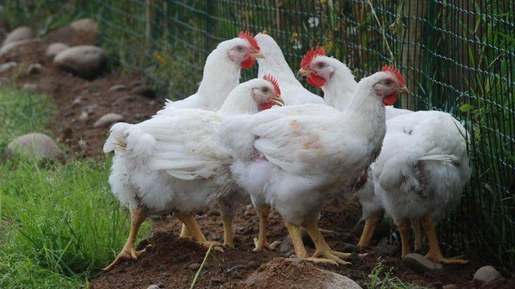 Luomubroilerit pääsevät säävarauksella ulkoilemaan vähintään touko-syyskuussa.