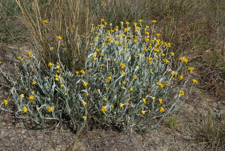 Asteraceae (=daisy family) Chrysocephalum apiculatum