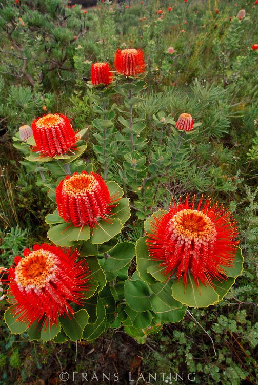 Gorgeous scarlet banksia flowers. Fitzgerald River National Park, Australia . . . @sharonohreally