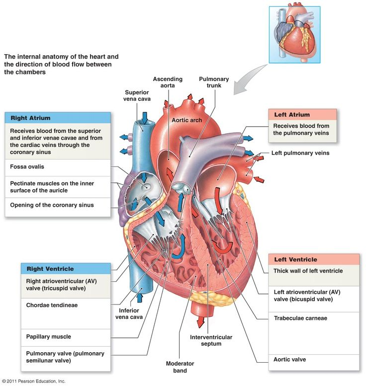 Anatomy of heart and direction of blood flow