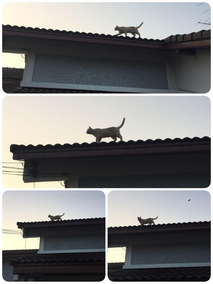 ผมชื่อสีนวล ผมเป็นแมวครับ