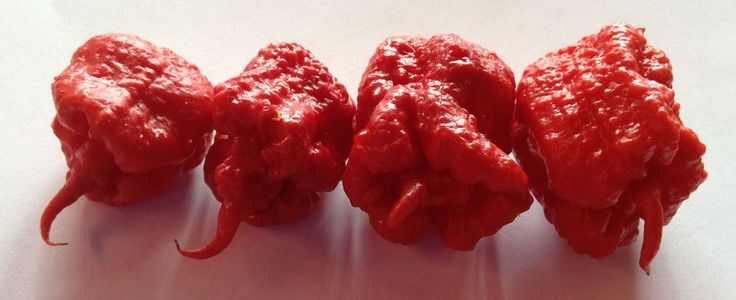 "Ed Currie named these peppers ""Carolina Reapers"" for the sickle-like tails that stick out the ends. Credit: PuckerButt Pepper Company"