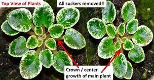yılbaşı çiçeği nasıl dikilir ile ilgili görsel sonucu