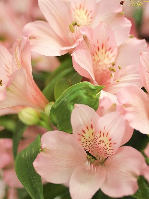 Alstroemeria traditionally is a sign of friendship and of a strong bond due to its hardiness.