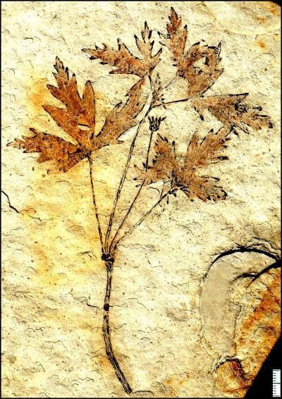 125-million-year-old fossil of a flowering plant, Leefructus mirus, the earliest intact fossil of a eudicot, a familiar group of plants that includes modern maple trees and dandelions