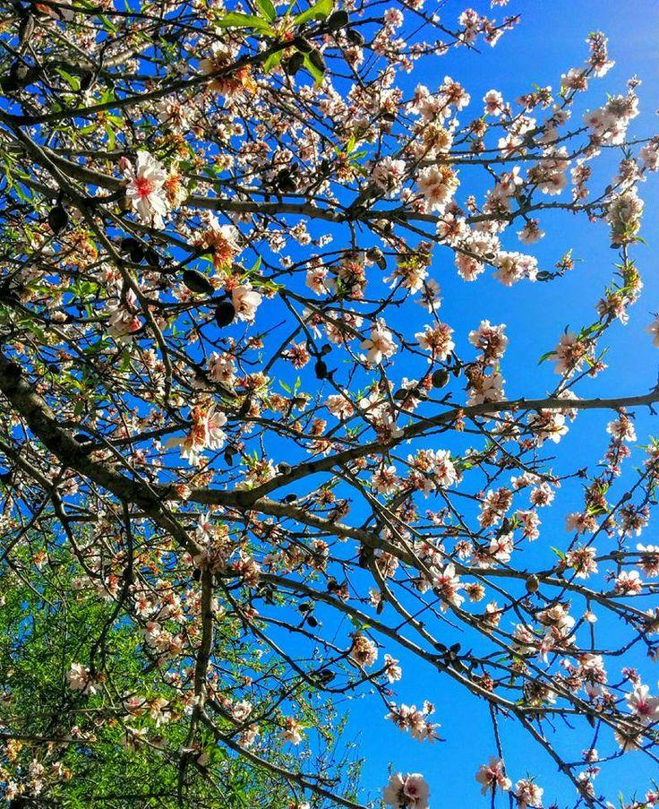 Almendras amargas y flores para febrero. Biblioteca de Agrícolas. 25/01/2016