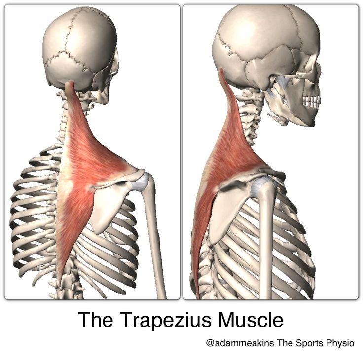 43 besten Anathomy Bilder auf Pinterest | Physiotherapie, Muskel und ...