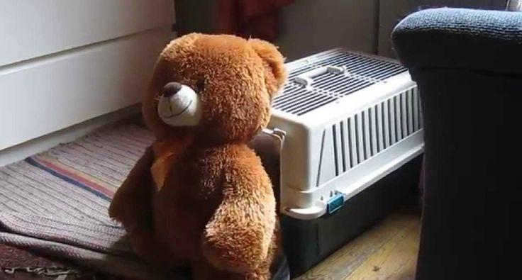 Este Cão é Tão Determinado Que Até Consegue Colocar Urso Dentro De Uma Caixa Transportadora