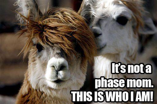 Funny Llamas   Funny Llama Pictures