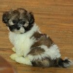 Choosing Shih Tzu Puppies For Sale : Puppies for Sale : Dogs for sale in Ontario, Canada | Curious Puppies