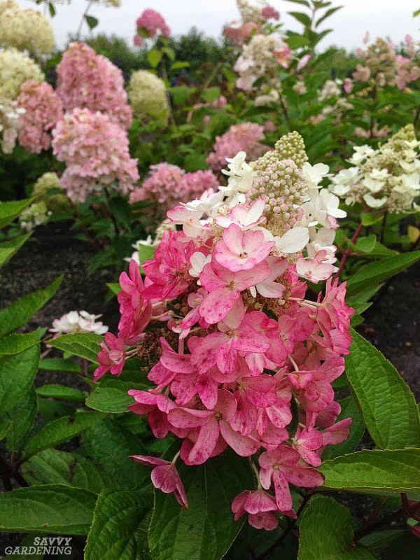 Panicle Hydrangeas 3 No Fail Choices For Reliable Blooms Hydrangea Paniculata Panicle Hydrangea Hydrangea Paniculata When Do Hydrangeas Bloom