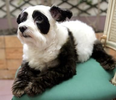 At last panda dog! ~ Now if you don't think this pup is lovely then I am sad to tell you you need your eyes tested......SOON.  One of the most original pups I have seen in a long time *smile* <3
