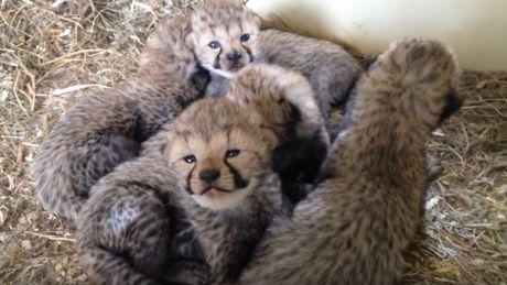 Baby boom la o grădină zoologică. Două femele de ghepard au adus pe lume 12 pui (VIDEO)