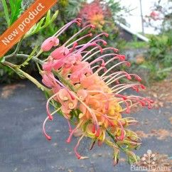 Grevillea 'Loopy Lou' Compact, fast growing shrub to 1m with large flowers in tropical shades of yellow and pink. Establishes quickly. Ideal for rockeries and erosion control on embankments. The warmer the climate the longer it will flower. #australian #native #flowering