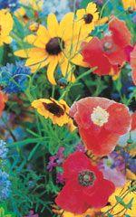 Bee Pollinator Meadow Mixture - OSC Seeds