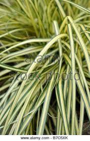 Image result for carex evergold