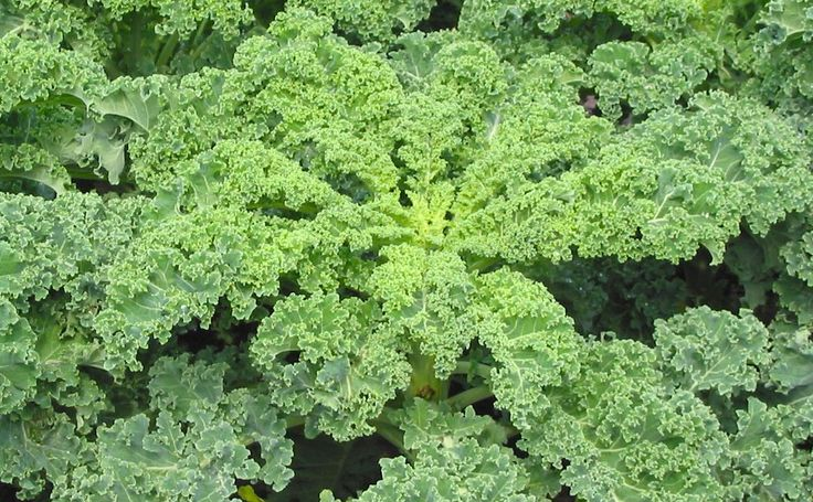Kale is a green or purple leafy vegetable similar to cabbage. Currently, Kale is very trendy but does its reputation as a 'superfood' live up to expectations? Explore the health benefits of kale and find out the ten reasons why this green leafy vegetable is better for you than most other vegetables.