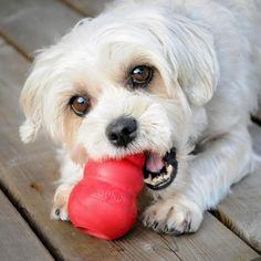 O kong é um brinquedo que pode ajudar a minimizar a ansiedade por separação no seu cão! #kong #cão #cachorro #adestramento