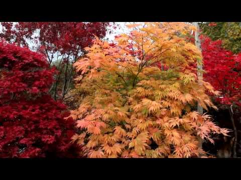 Japanese Maples of AmazingMaples.com only found in the Seattle area - YouTube