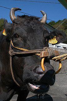 The History of Kobe Beef in Japan