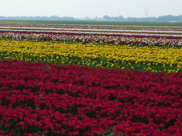 Fields of red and yellow freesia in Breezand. July 2012