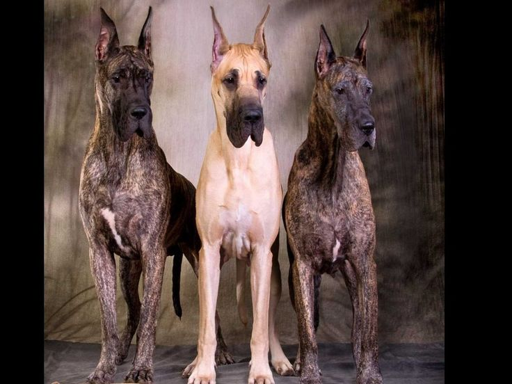 Image result for brindle great dane grand champion
