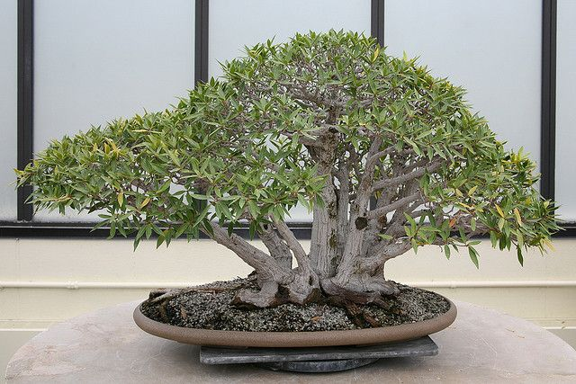 Willowleaf Fig (Ficus neriifolia)