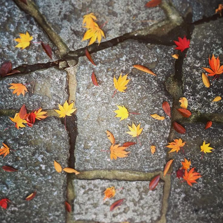 フレディの仲間たち 12.2015 今月の頭に撮影したもの。地面に落ちている葉っぱを見ると「葉っぱのフレディ」を思い出します。 #晩秋 #枯葉 #落ち葉 #紅葉 #自然 #石畳 #日本 #カラフル #道 #もみじ #autumn #fall #fallenleaves #coloredleaves #nature #landscape #japan #colorful #way #maple #red #orange #yellow #leaves #deadleaves #dryleaves #stonepavedroad