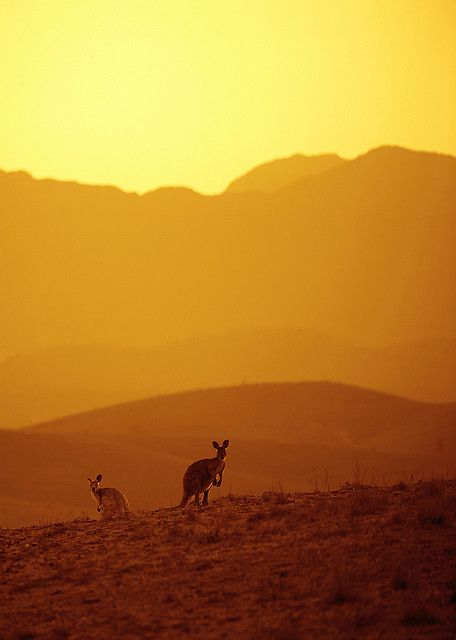Kangaroos, Flinders Ranges - by John White