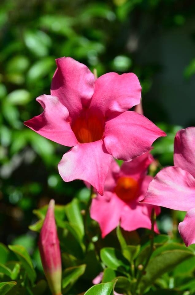 Διπλαδένια - Βραζιλιάνικο γιασεμί! Για να έχει η μέρα σας ευωδιά και ομορφιά!!!