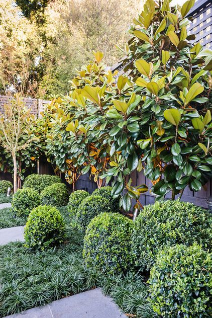 Magnolia grandiflora 'Little Gem', Buxus and Liriope