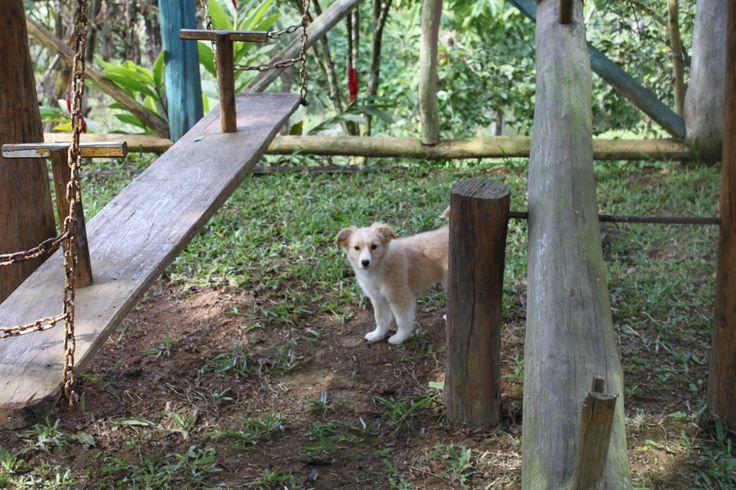 Hachi, border collie puppies. © Larissa Reis | Fotografia.