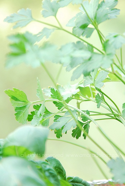 prezzemolo/parsley