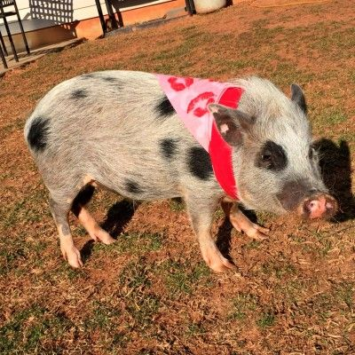 The Juliana is a small, colorfully spotted pig. It more closely resembles a small version